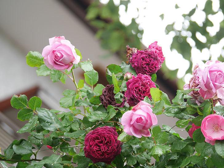 ローズ・ポンパドゥール(Rose Pompadour)の花が増えてきた。半ツルバラ。2021年-005.jpg