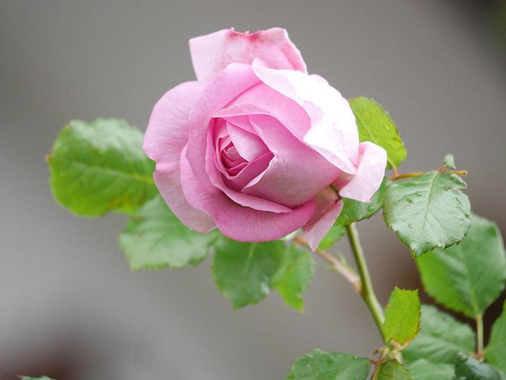 ローズ・ポンパドゥール(Rose Pompadour)の花が増えてきた。半ツルバラ。2021年-006.jpg