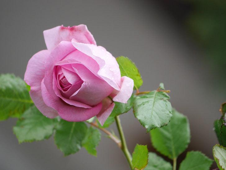 ローズ・ポンパドゥール(Rose Pompadour)の花が増えてきた。半ツルバラ。2021年-007.jpg