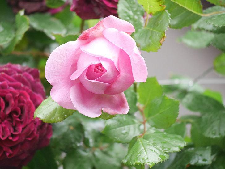 ローズ・ポンパドゥール(Rose Pompadour)の花が増えてきた。半ツルバラ。2021年-008.jpg