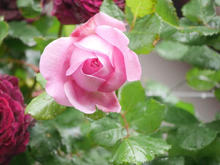 ローズ・ポンパドゥール(Rose Pompadour)の花が増えてきた。半ツルバラ。2021年-009.jpg