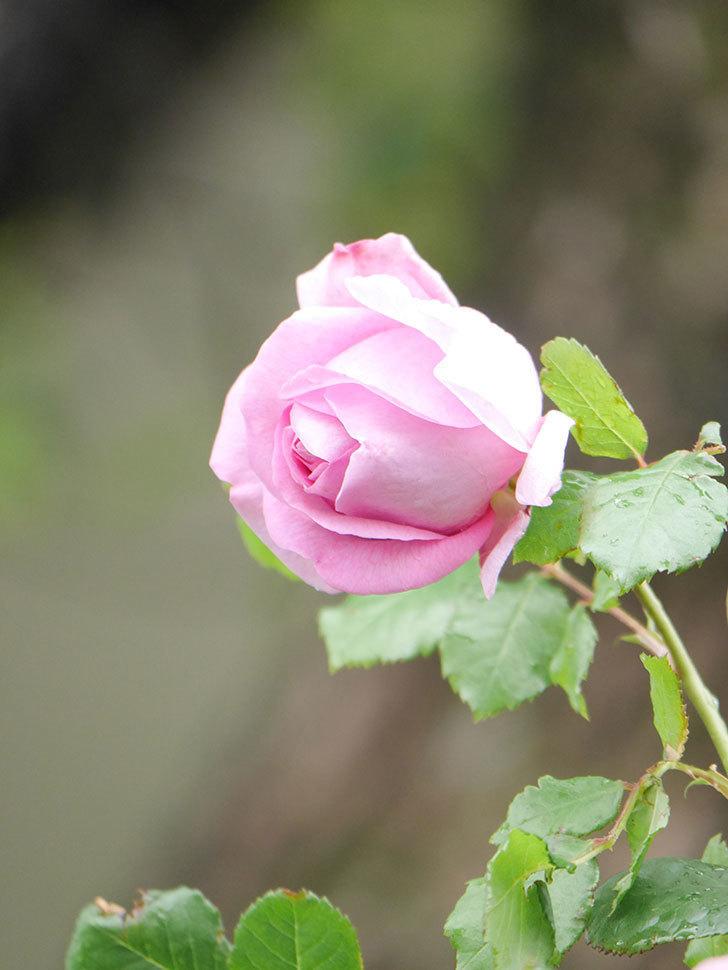 ローズ・ポンパドゥール(Rose Pompadour)の花が増えてきた。半ツルバラ。2021年-011.jpg