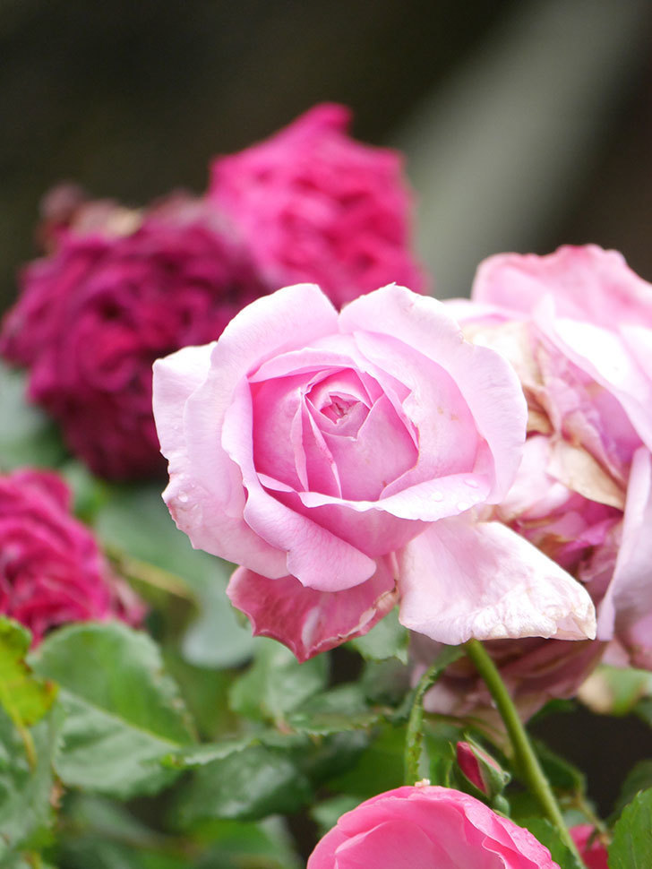 ローズ・ポンパドゥール(Rose Pompadour)の花が増えてきた。半ツルバラ。2021年-012.jpg