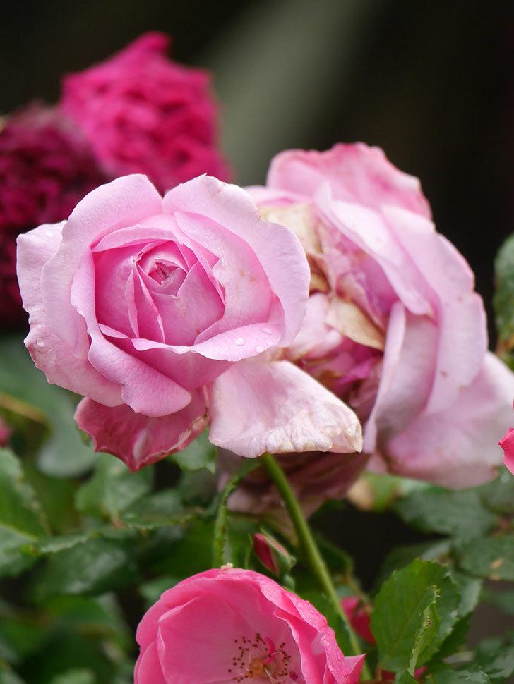 ローズ・ポンパドゥール(Rose Pompadour)の花が増えてきた。半ツルバラ。2021年-013.jpg