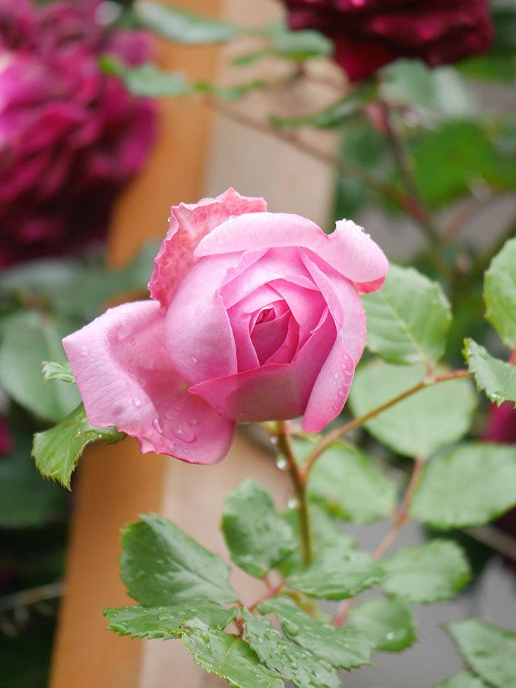 ローズ・ポンパドゥール(Rose Pompadour)の花が増えてきた。半ツルバラ。2021年-014.jpg