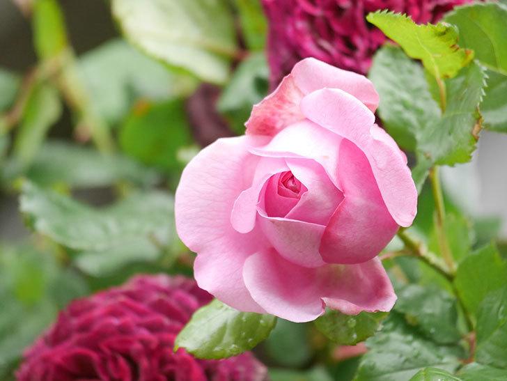 ローズ・ポンパドゥール(Rose Pompadour)の花が増えてきた。半ツルバラ。2021年-015.jpg