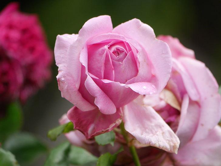 ローズ・ポンパドゥール(Rose Pompadour)の花が増えてきた。半ツルバラ。2021年-016.jpg