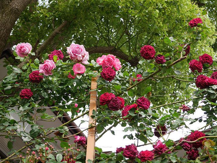 ローズ・ポンパドゥール(Rose Pompadour)の花が増えてきた。半ツルバラ。2021年-017.jpg