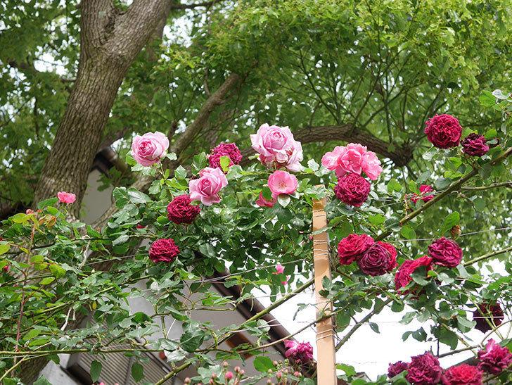 ローズ・ポンパドゥール(Rose Pompadour)の花が増えてきた。半ツルバラ。2021年-018.jpg