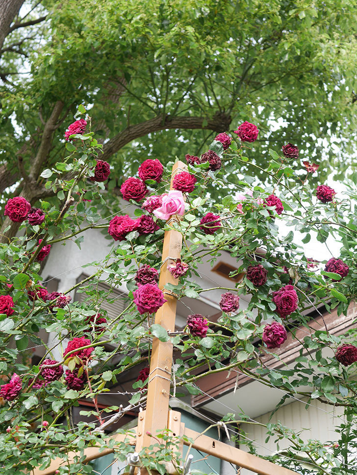 ローズ・ポンパドゥール(Rose Pompadour)の花が増えてきた。半ツルバラ。2021年-020.jpg