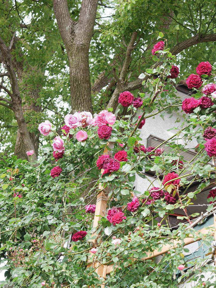ローズ・ポンパドゥール(Rose Pompadour)の花が増えてきた。半ツルバラ。2021年-021.jpg