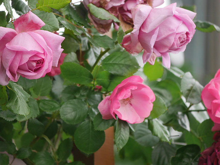 ローズ・ポンパドゥール(Rose Pompadour)の花が増えてきた。半ツルバラ。2021年-022.jpg