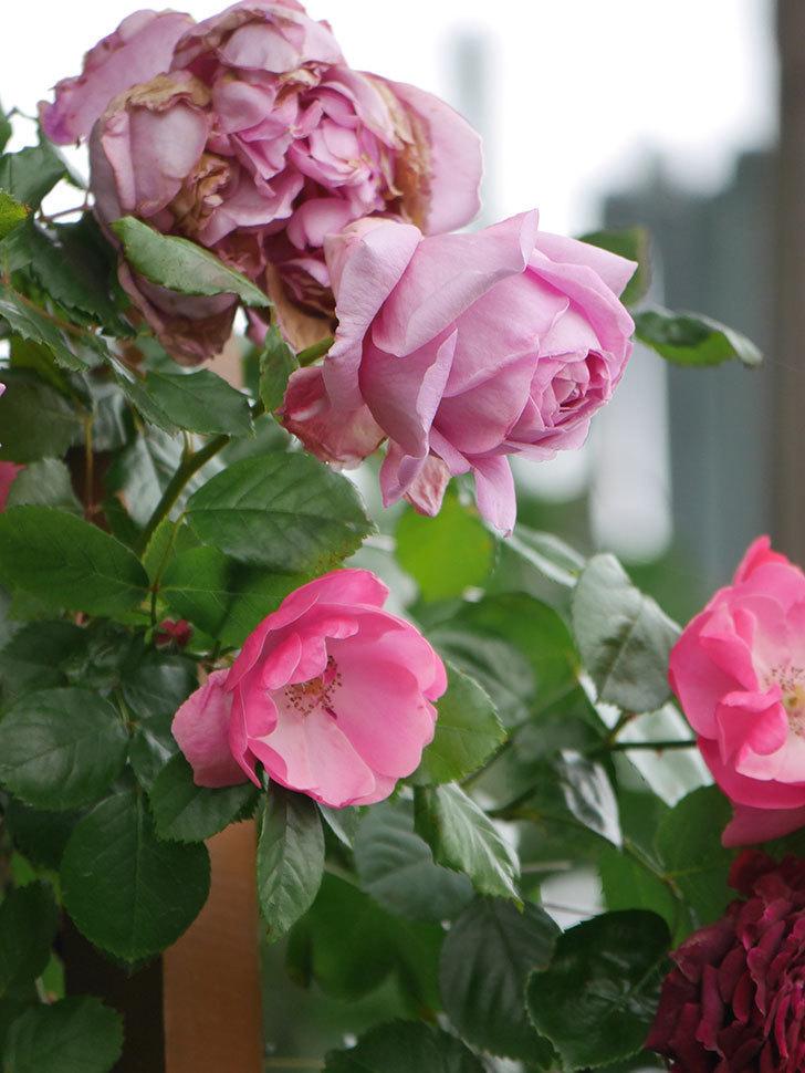 ローズ・ポンパドゥール(Rose Pompadour)の花が増えてきた。半ツルバラ。2021年-023.jpg
