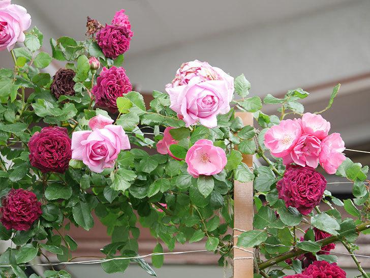 ローズ・ポンパドゥール(Rose Pompadour)の花が増えてきた。半ツルバラ。2021年-024.jpg