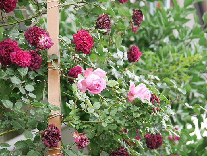 ローズ・ポンパドゥール(Rose Pompadour)の花が増えてきた。半ツルバラ。2021年-025.jpg