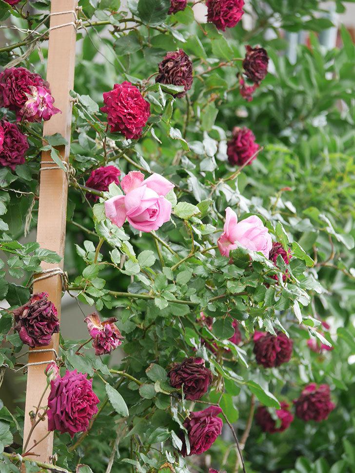 ローズ・ポンパドゥール(Rose Pompadour)の花が増えてきた。半ツルバラ。2021年-026.jpg