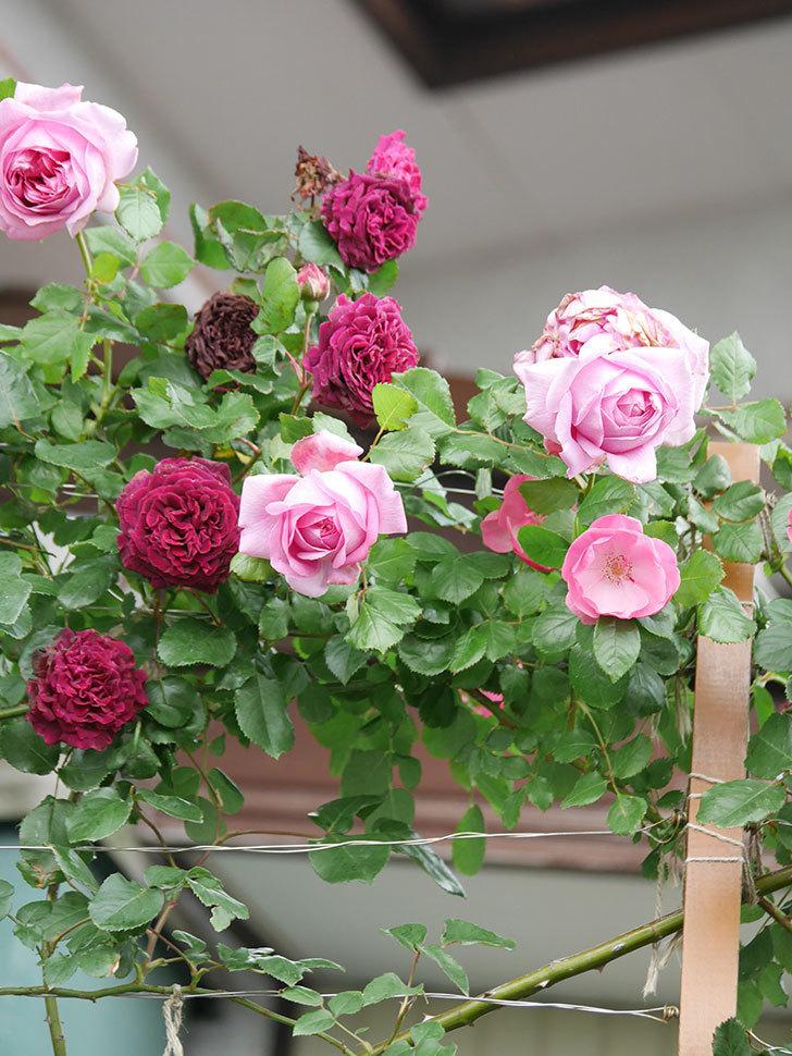 ローズ・ポンパドゥール(Rose Pompadour)の花が増えてきた。半ツルバラ。2021年-027.jpg
