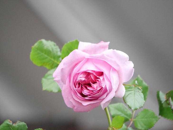ローズ・ポンパドゥール(Rose Pompadour)の花が増えてきた。半ツルバラ。2021年-028.jpg