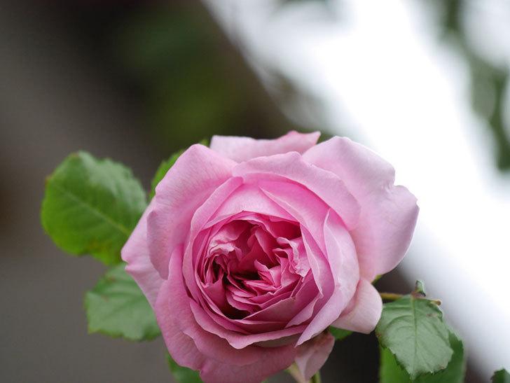 ローズ・ポンパドゥール(Rose Pompadour)の花が増えてきた。半ツルバラ。2021年-029.jpg