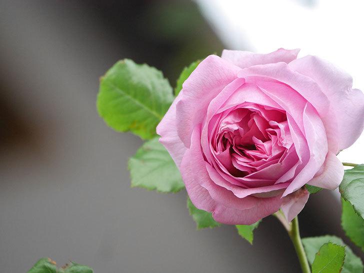 ローズ・ポンパドゥール(Rose Pompadour)の花が増えてきた。半ツルバラ。2021年-030.jpg