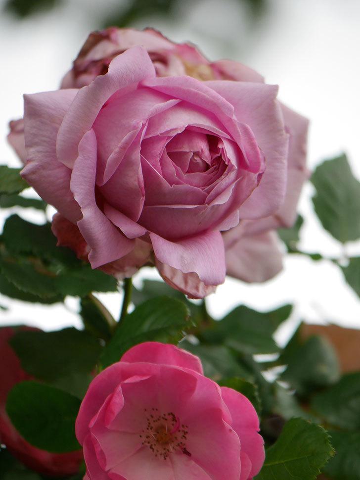 ローズ・ポンパドゥール(Rose Pompadour)の花が増えてきた。半ツルバラ。2021年-031.jpg