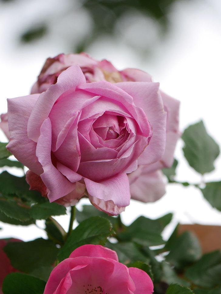 ローズ・ポンパドゥール(Rose Pompadour)の花が増えてきた。半ツルバラ。2021年-032.jpg