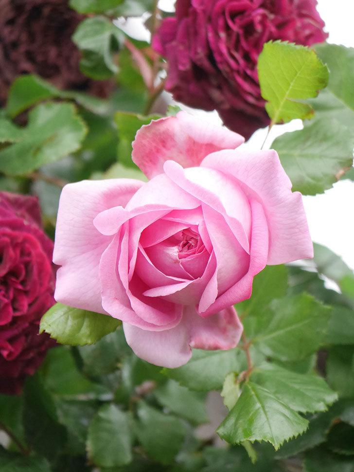 ローズ・ポンパドゥール(Rose Pompadour)の花が増えてきた。半ツルバラ。2021年-033.jpg
