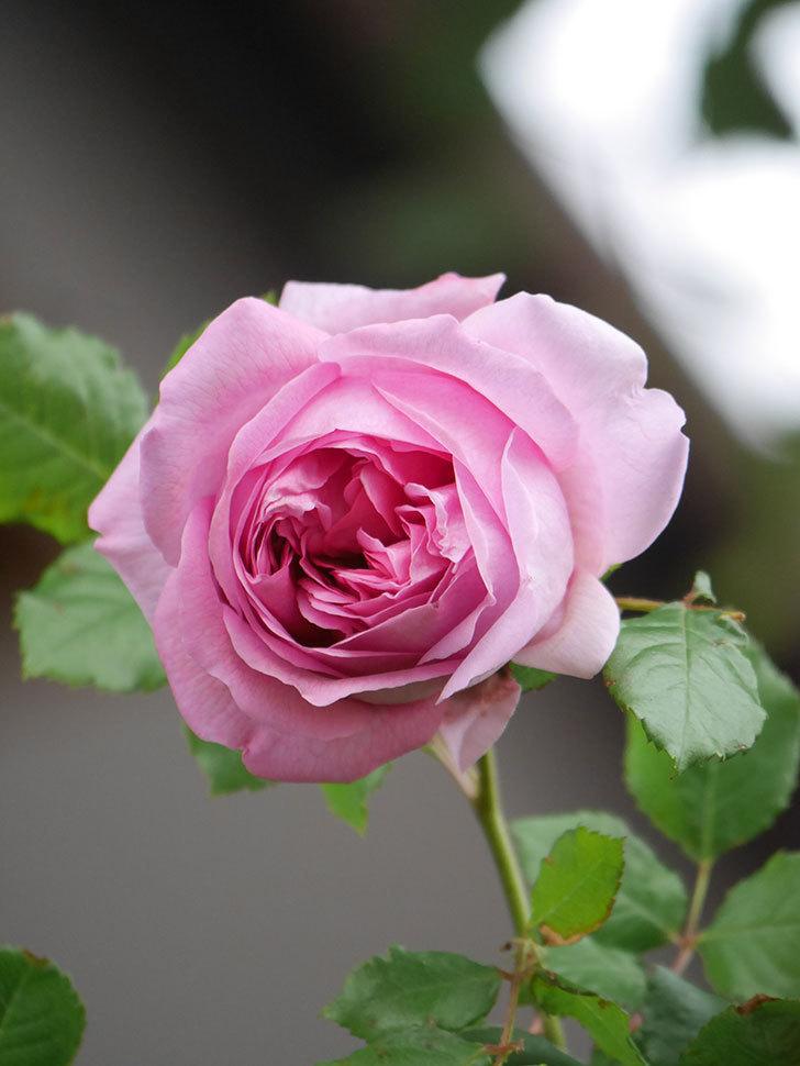 ローズ・ポンパドゥール(Rose Pompadour)の花が増えてきた。半ツルバラ。2021年-034.jpg