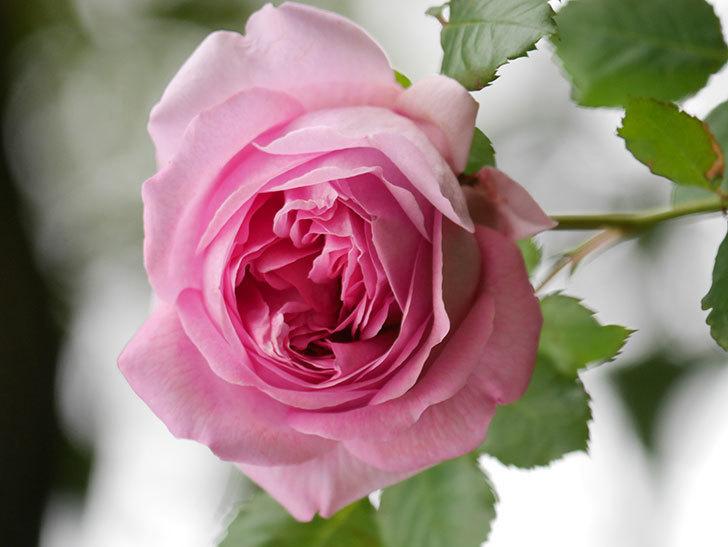 ローズ・ポンパドゥール(Rose Pompadour)の花が増えてきた。半ツルバラ。2021年-035.jpg