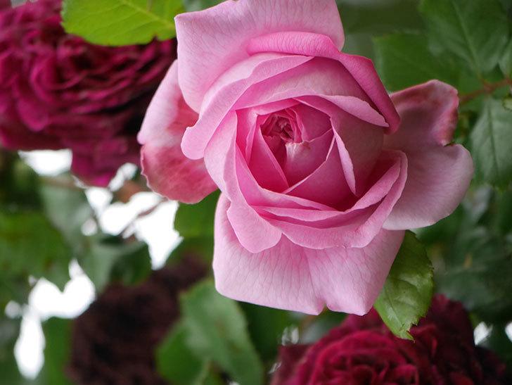 ローズ・ポンパドゥール(Rose Pompadour)の花が増えてきた。半ツルバラ。2021年-036.jpg