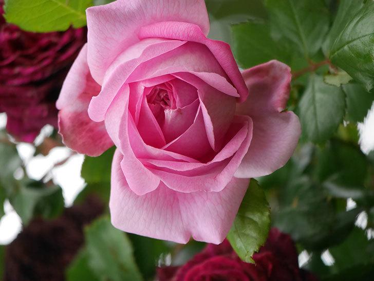 ローズ・ポンパドゥール(Rose Pompadour)の花が増えてきた。半ツルバラ。2021年-037.jpg