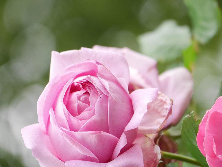 ローズ・ポンパドゥール(Rose Pompadour)の花が増えてきた。半ツルバラ。2021年-038.jpg