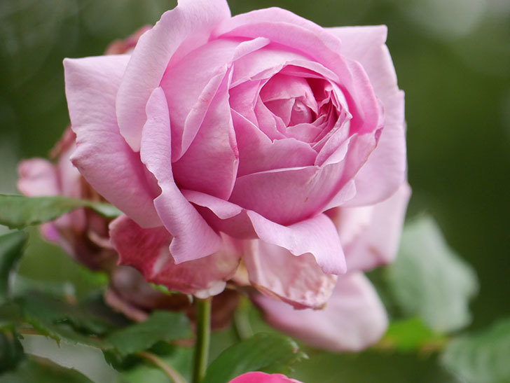 ローズ・ポンパドゥール(Rose Pompadour)の花が増えてきた。半ツルバラ。2021年-039.jpg