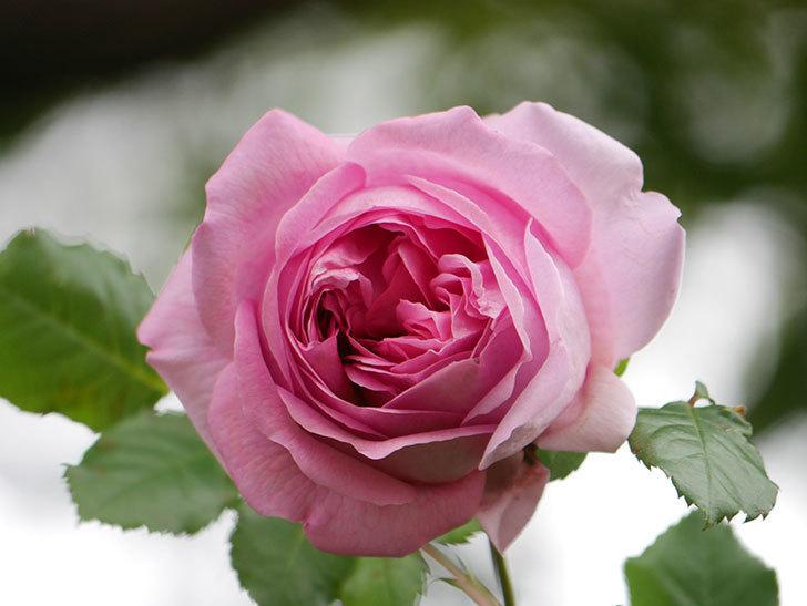 ローズ・ポンパドゥール(Rose Pompadour)の花が増えてきた。半ツルバラ。2021年-040.jpg
