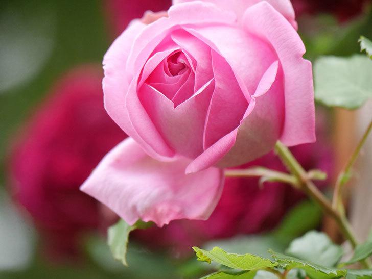 ローズ・ポンパドゥール(Rose Pompadour)の花が増えてきた。半ツルバラ。2021年-042.jpg