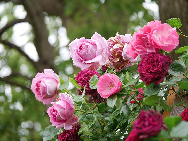 ローズ・ポンパドゥール(Rose Pompadour)の花が増えてきた。半ツルバラ。2021年-043.jpg