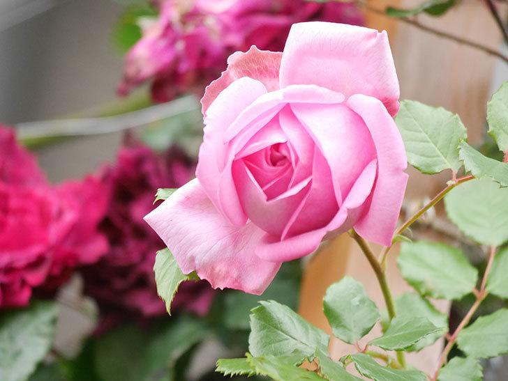 ローズ・ポンパドゥール(Rose Pompadour)の花が増えてきた。半ツルバラ。2021年-045.jpg