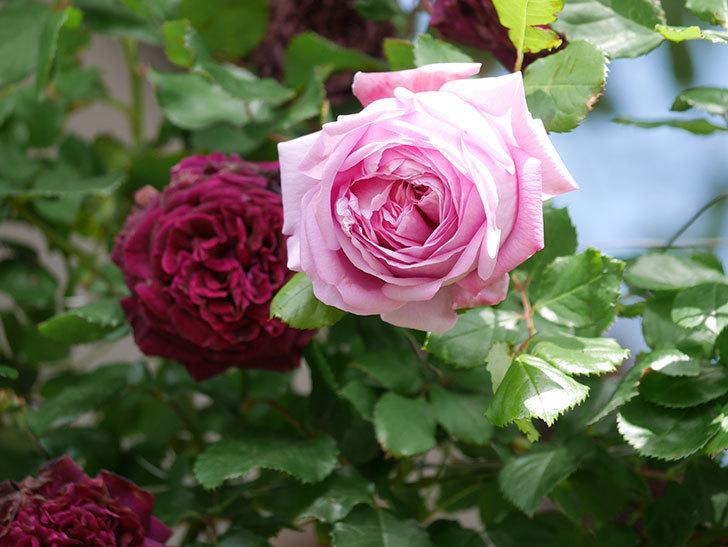 ローズ・ポンパドゥール(Rose Pompadour)の花が増えてきた。半ツルバラ。2021年-046.jpg