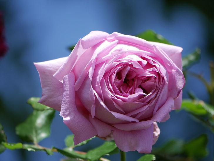 ローズ・ポンパドゥール(Rose Pompadour)の花が増えてきた。半ツルバラ。2021年-047.jpg