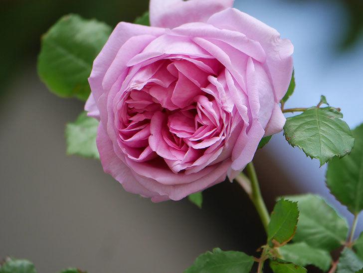 ローズ・ポンパドゥール(Rose Pompadour)の花が増えてきた。半ツルバラ。2021年-048.jpg