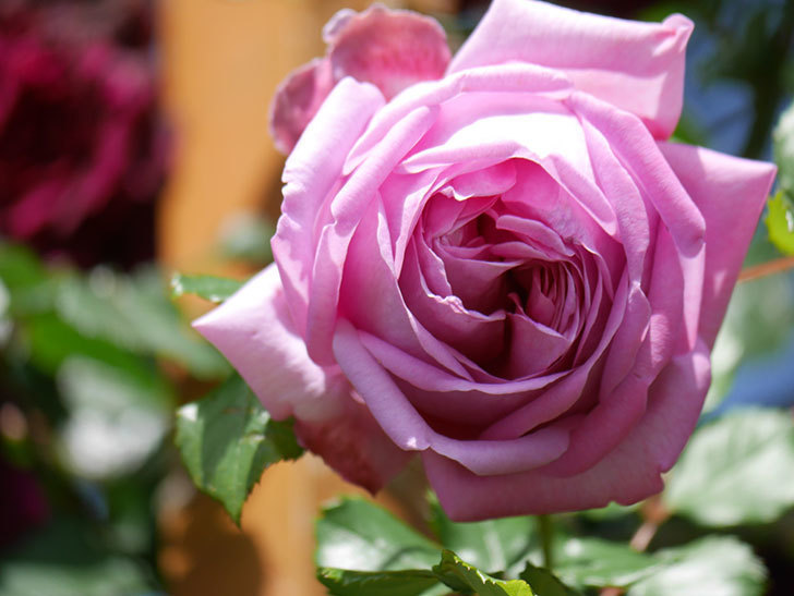 ローズ・ポンパドゥール(Rose Pompadour)の花が増えてきた。半ツルバラ。2021年-049.jpg