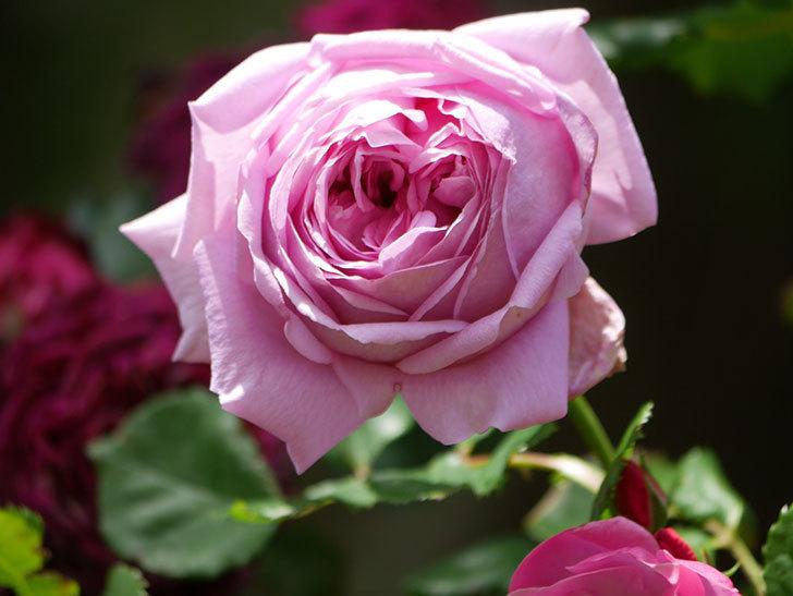 ローズ・ポンパドゥール(Rose Pompadour)の花が増えてきた。半ツルバラ。2021年-050.jpg