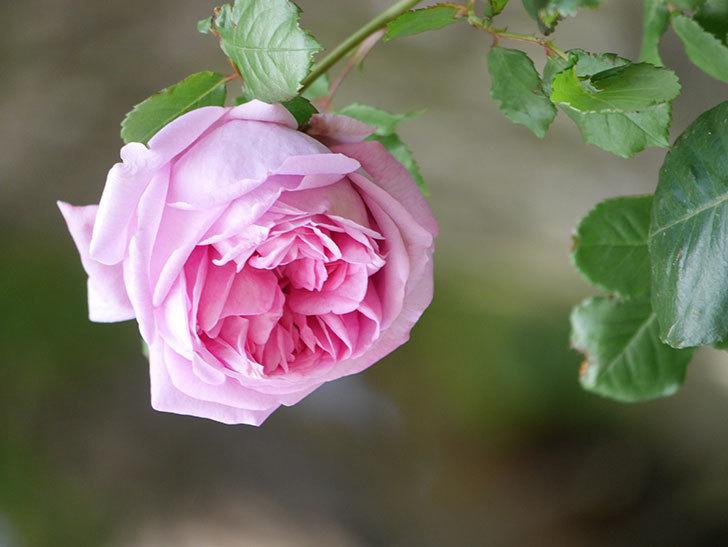 ローズ・ポンパドゥール(Rose Pompadour)の花が増えてきた。半ツルバラ。2021年-051.jpg