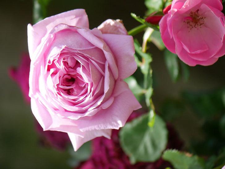 ローズ・ポンパドゥール(Rose Pompadour)の花が増えてきた。半ツルバラ。2021年-052.jpg