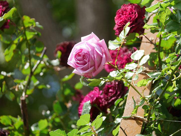 ローズ・ポンパドゥール(Rose Pompadour)の花が増えてきた。半ツルバラ。2021年-053.jpg