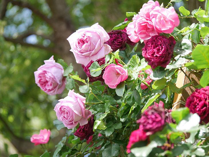 ローズ・ポンパドゥール(Rose Pompadour)の花が増えてきた。半ツルバラ。2021年-054.jpg