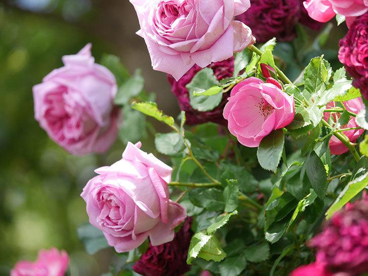 ローズ・ポンパドゥール(Rose Pompadour)の花が増えてきた。半ツルバラ。2021年-055.jpg