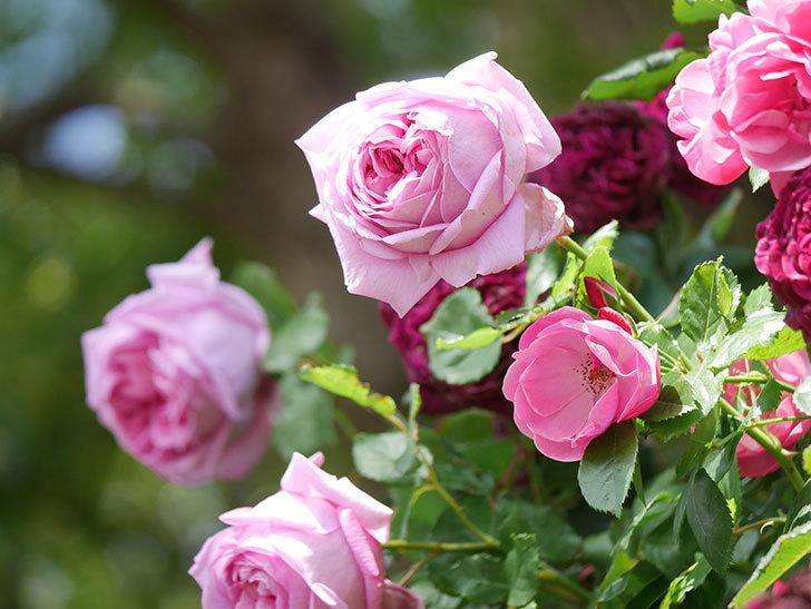 ローズ・ポンパドゥール(Rose Pompadour)の花が増えてきた。半ツルバラ。2021年-056.jpg
