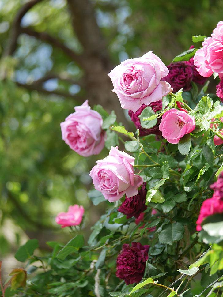 ローズ・ポンパドゥール(Rose Pompadour)の花が増えてきた。半ツルバラ。2021年-057.jpg