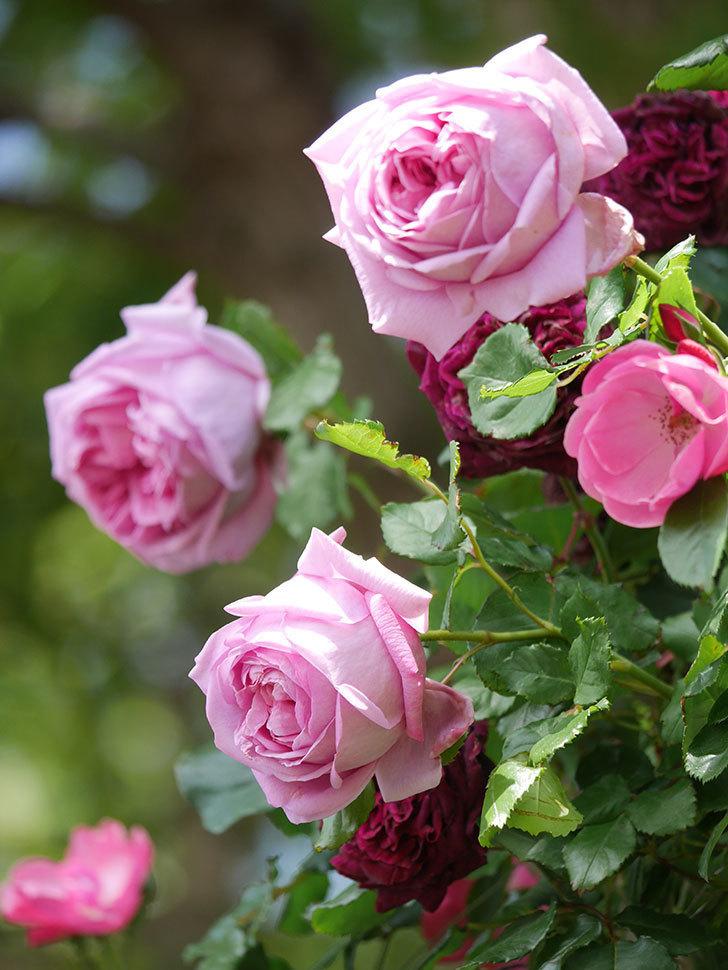 ローズ・ポンパドゥール(Rose Pompadour)の花が増えてきた。半ツルバラ。2021年-058.jpg